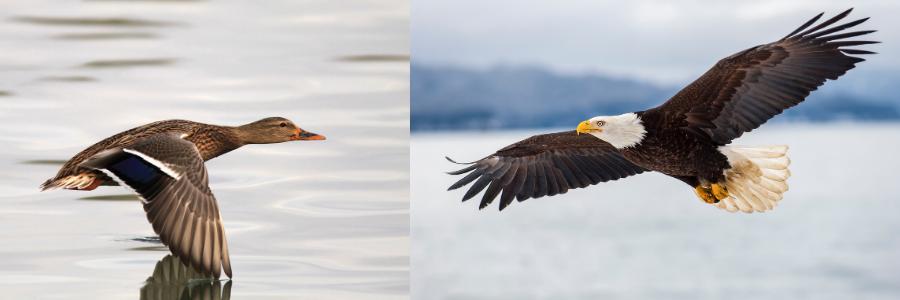 Ente wird nicht zum Adler